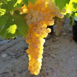 grape-3